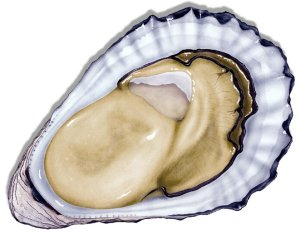 Oyster extract is a main Testo Fuel ingredient